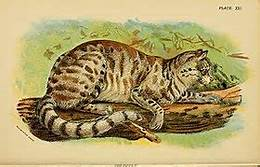 Pampas cat: yellow-brown with stripes