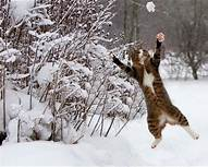 Tiger cat leaping for snowball