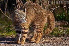 orange-brown striped pampas cat