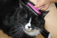 Black and white cat being brushed (head and shoulders)