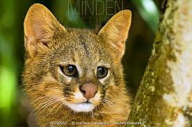 Head of yellow-brown Pampas cat