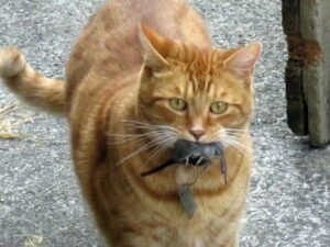 Orange cat carrying mouse