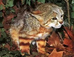 grey and yellow Pampas cat