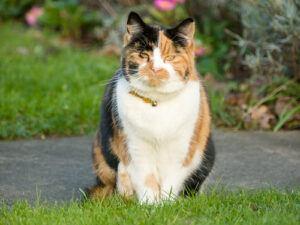 Tortoiseshell cat with white bib, sitting