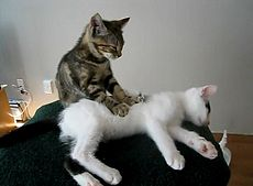 Tiger cat giving white cat a massage