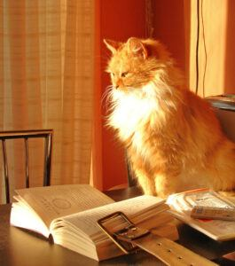 Orange & white cat looking at open book