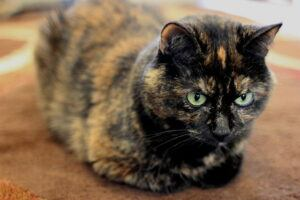 tortoiseshell cat, hunkered down