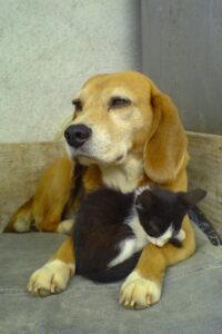 small black cat sleeping between beagle's paws