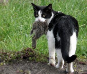 Tuxedo cat carrying rabbit