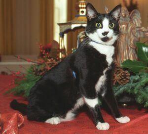 Tuxedo cat named Socks