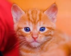 Blue-eyed orange kitten