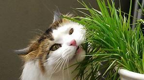 Tiger cat eating grass