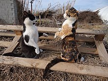 Two cats on hind legs in battle mode