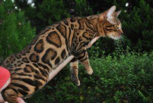 Bengal cat, leaping