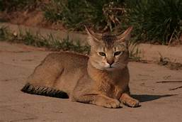 Chausie cat, lying down