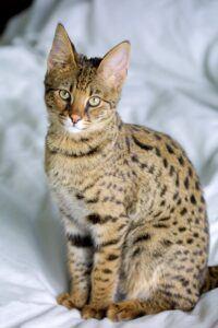 Savannah cat, sitting