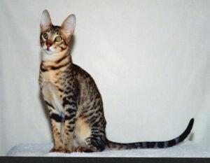 Serengeti cat, sitting pose
