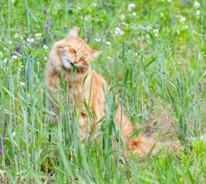 Orange cat seated in grass, eating