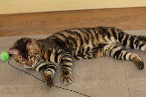 Toyger, lying down