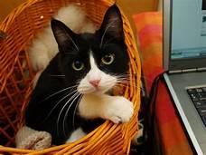 Tuxedo cat in a basket