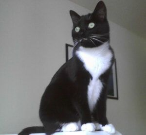tuxedo cat, sitting