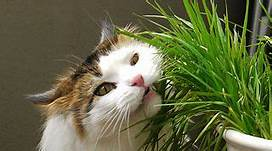 Cat munching on grass in container