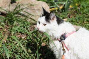 White & black cat munching grass