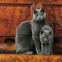 Russian blue cat and kitten
