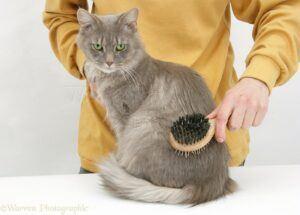 Grey cat being brushed