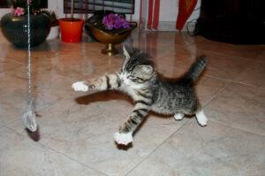 Kitten leaping after toy