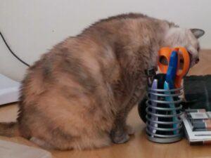 Cat chewing on scissor handles
