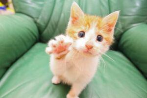 Orange kitten reaching with right paw