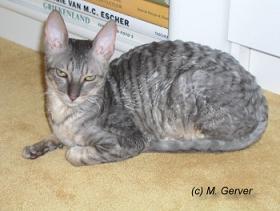 Grey Cornish Rex cat lying down