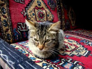 Cat in a rug shop, hunkered on rug