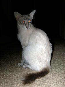 Javanese cat, sitting (white; dark tail)