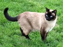 Siamese cat, standing in grass