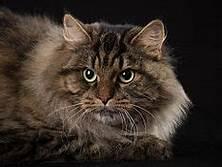Face & shoulders of a Siberian cat