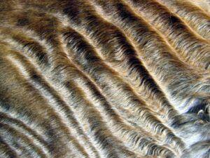 Wavy fur of a Devon Rex cat
