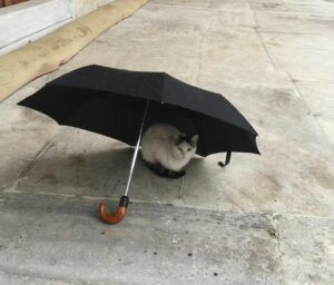 White cat sitting under black umbrella