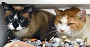 Siamese; orange & white cat side by side