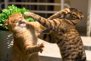 Two cats boxing