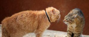 Orange cat and Tabby facing off to fight