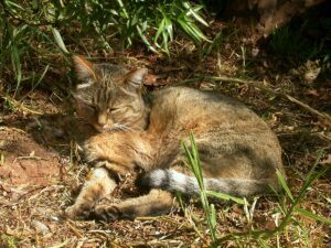 African Wild Cat, lying down, napping
