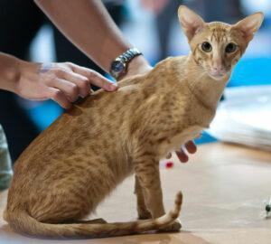 Orange Oriental Shorthair cat