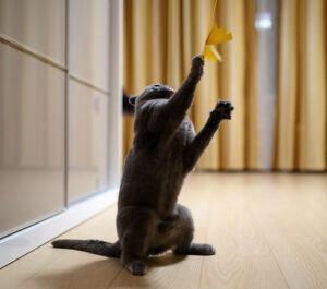 Grey cat grabbing toy