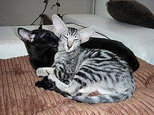 Black and tiger-striped Oriental Shorthairs