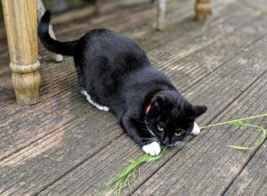 Black cat playing with a sheaf of grain