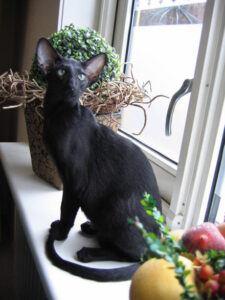 Black Oriental Shorthair sitting in window