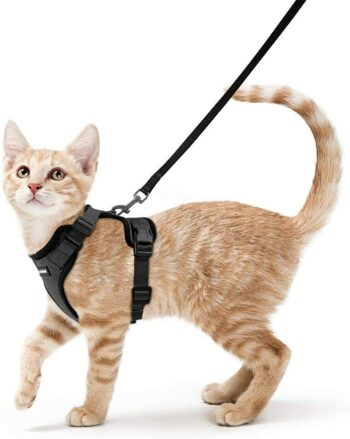 Standing orange cat with harness & leash