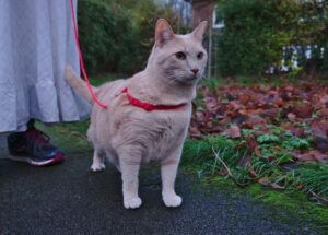 cat outside with leash and harness